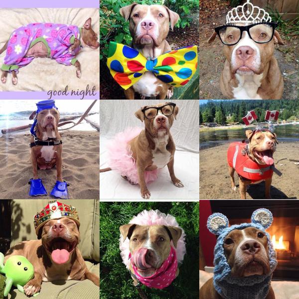 Seniors, Pitbulls, and Rescues.. oh my!